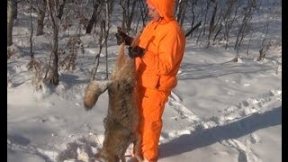 Охота на койотов по снегу. Ноябрь 2012