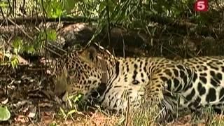 Охота на ягуара
