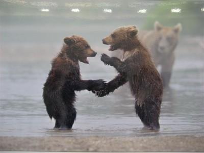 Нефтяники выкармливают троих медвежат