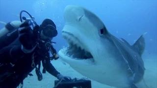Как погладить тигровую акулу