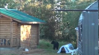 Медведь пришёл в гости. Канада, Саскачеван.