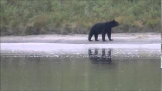 Встреча с волком и медведем.  Канада. Сентябрь 2014