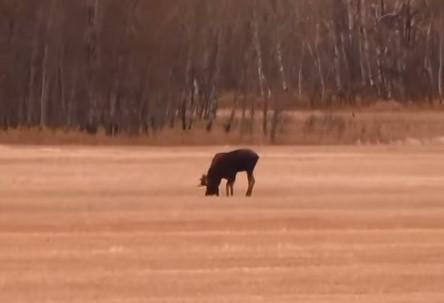 Как Дядя Вова охотился на лося.  Канада Октябрь 2014