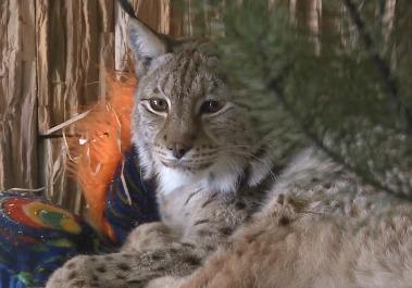 В Ленинградском зоопарке подружились рысь и кошка