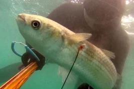 Pescasub: Cefali sciroccati