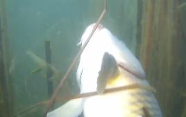 Юрий Коваленко: Подводная охота. За карпом в дебри камыша