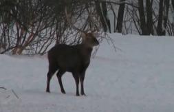 Сезон охоты: Охота на пятнистого оленя.