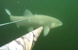 Подводная охота на белого амура, апрель Волга.