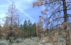 Засуха в Калифорнии погубила 12 млн деревьев