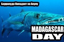 Madagascar Day 22 - Барракуда Нападет на Акулу