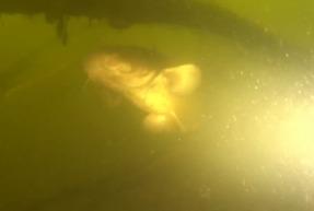 Роман Сытник: сом и дрyг бобёр, подводная охота