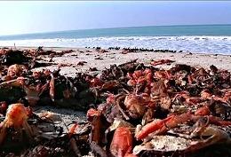 В Калифорнии пляжи усыпаны мёртвыми крабами