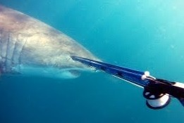 Нападение акулы на подводного охотника