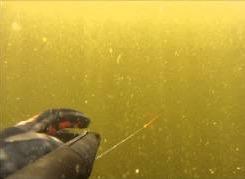 Подводная охота на Волге: толстолобики
