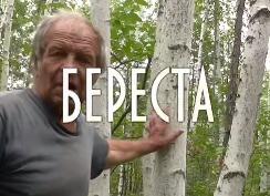 Как снять бересту не навредив дереву