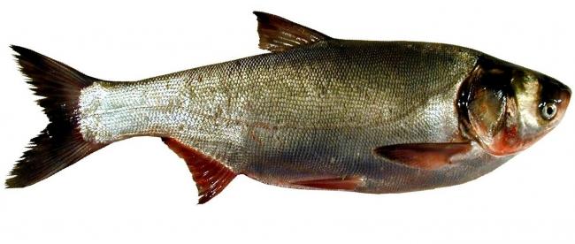 рыбалка на технопланктон видео
