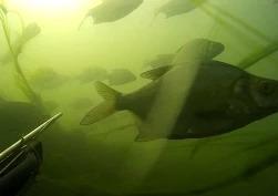 Илдар Сибгатуллин: Подводная охота на малой речке 2015. Жерех, лещ