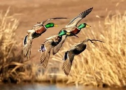 ALEX GROM: охота на утку