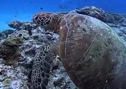 Охрана зелёных черепах во Флориде