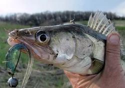 Рыбалка осенью на спиннинг, ловля судака