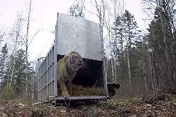 Амурская тигрица Золушка возвратилась в дикую природу