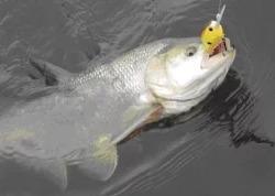 Астраханская рыбалка, ловля жереха на спиннинг
