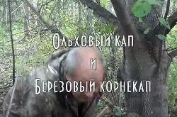 Тайга моя заветная: Ольховый кап и Березовый корнекап