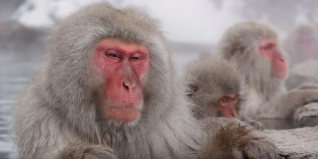 Фильм: Снежные Макаки Японии