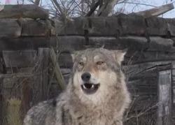 Фильм: Радиоактивные волки Чернобыля