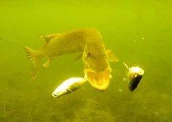 Подводная Ирландия: Рыбалка - щука атакует под водой.