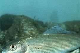 Диалоги о рыбалке: Пермский край, Хариус