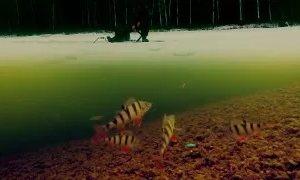 Сергей Сорокин: Поклевка окуня на балансир (подводная съемка)