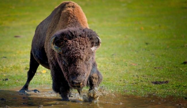 Зубр – большое парнокопытное животное, населявшее всю восточную и западную часть лесостепной зоны Евразии