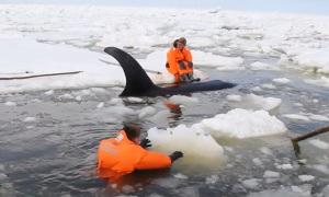Cпасение застрявших во льдах косаток на востоке Сахалина.