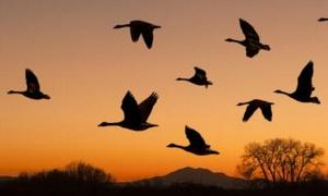 Охота на гуся в республике Коми