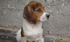 Охотничьи собаки: Русские гончие