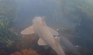 Калифорнийская бычья акула
