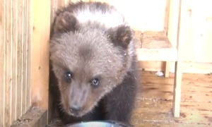 Семья из Ухты спасла медвежонка
