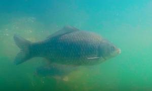 Сергей Сорокин: Крупный карась гуляет, подводная съемка