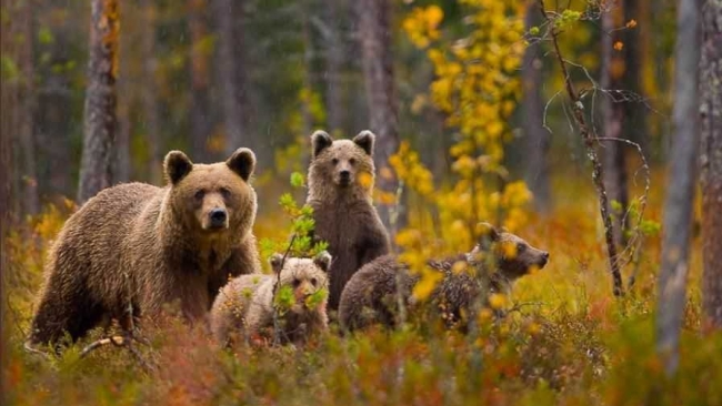 Следы и повадки бурого медведя