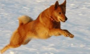 Видео: Карело-финская лайка (Охотничьи собаки)