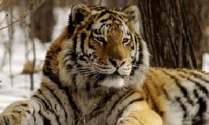 Фильм: Амба - Русский тигр