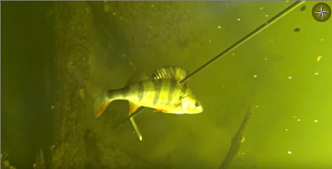 Подводная охота на окуня. Большая река, прозрачная вода.