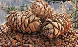 Добыча кедрового ореха