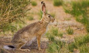 Охота на зайца в пустыне. Охота на мотоцикле Иж-43.