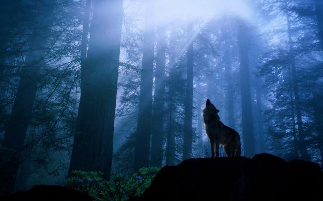Тайга моя заветная: Два слова о волках