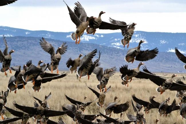 Охота на гусей в Шотландии