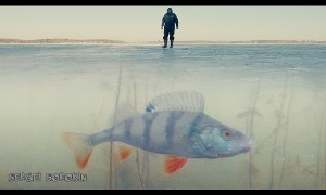 Поклевка окуня на жерлицу (Зимняя рыбалка)