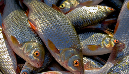 Рыбалка: Ловля леща и воблы