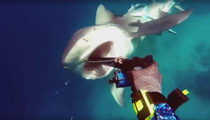Тупорылая акула атакует подводного охотника